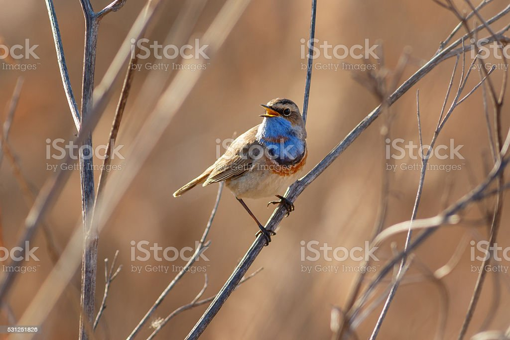 Warbler Bluethroat sitting on the cane stock photo