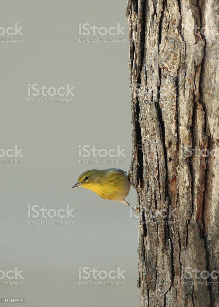 Warbler royalty-free stock photo