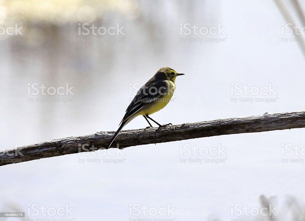Warbler stock photo