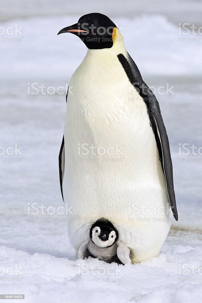 Warm and Cozy Emperor Penguin royalty-free stock photo