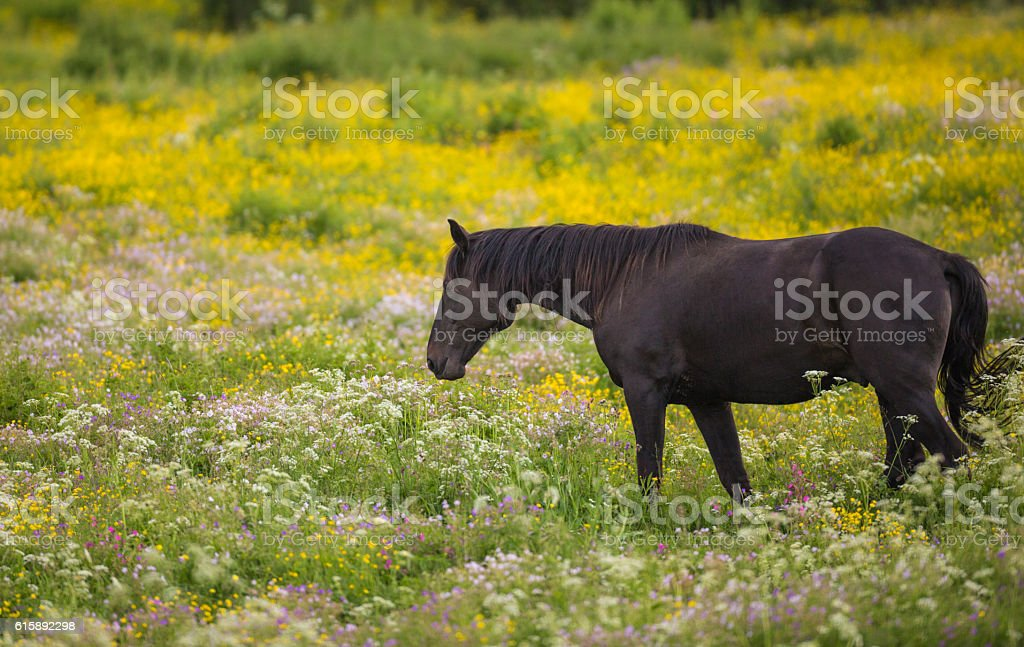 Warm blood horse in enclosed pasture stock photo