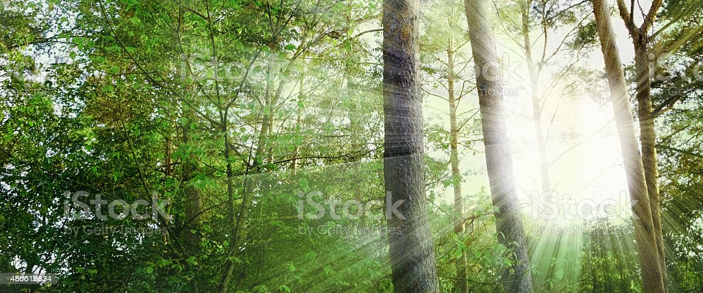warm sunbeams in a forest panorama stock photo