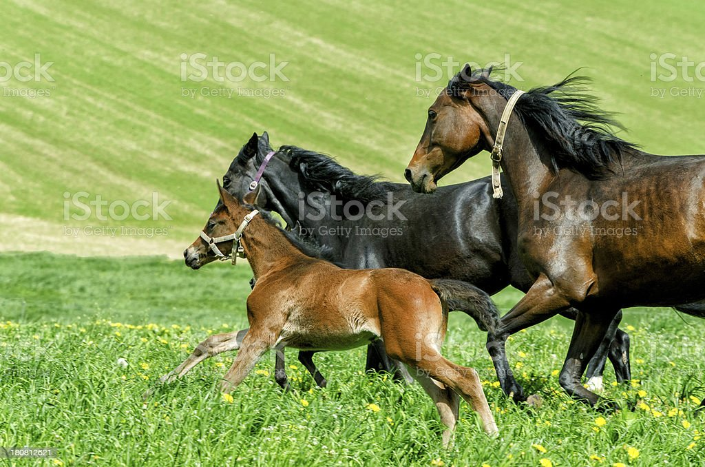 warmblood horse herd - mares and foals in gallop royalty-free stock photo