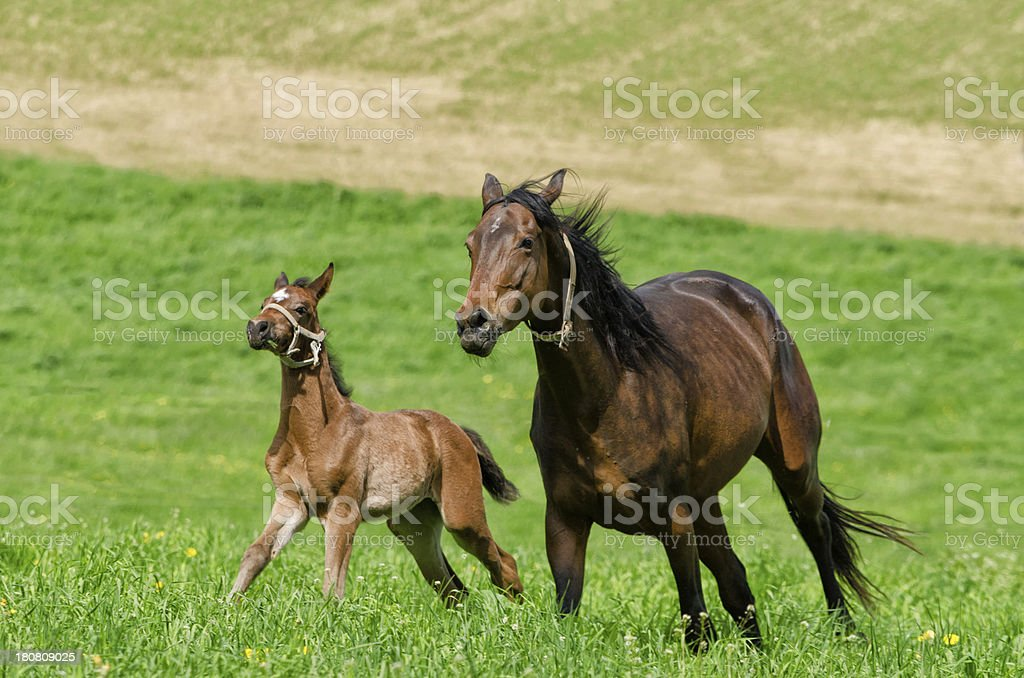 warmblood horse mare and foal in gallop stock photo