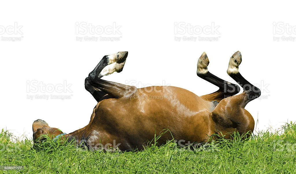 warmblood horse - mare rolling on meadow isolated on white stock photo