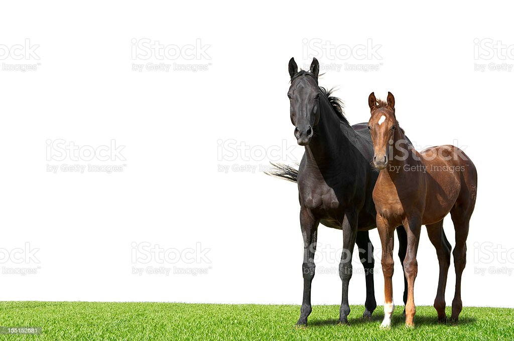 Warmblood mare and foal isolated on white stock photo