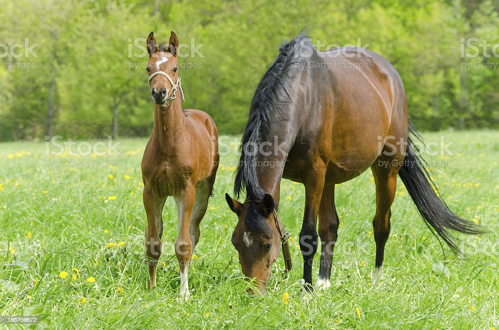 Warmblood mare and foal royalty-free stock photo