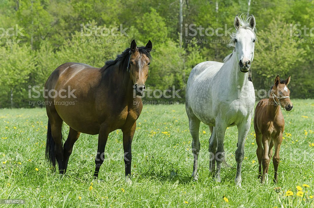 Warmblood mare and foal stock photo