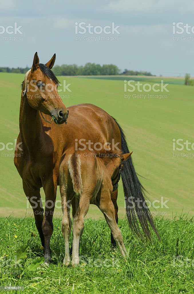 warmblood mare and suckling foal royalty-free stock photo