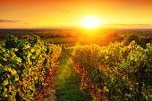 Warmly illuminated vineyard at sunset