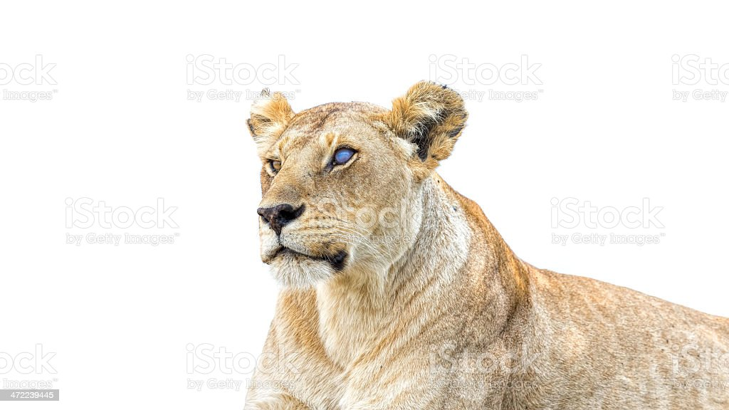Warrior Silver Eye Lioness: sphinx - blind side royalty-free stock photo
