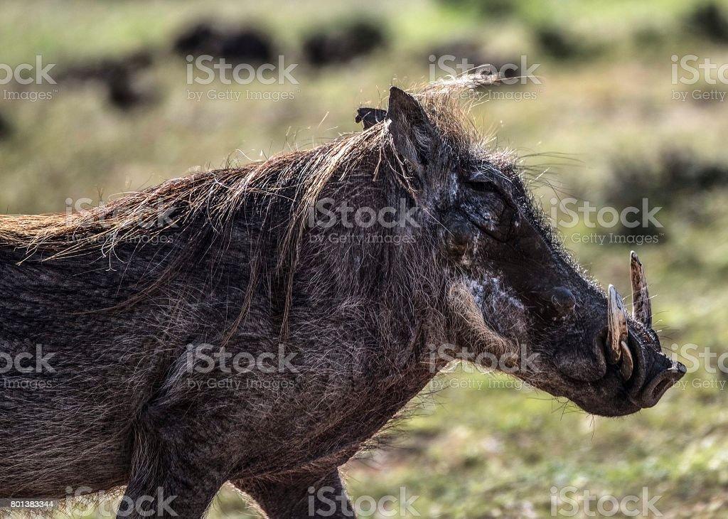 Warthog, Addo Elephant National Park, South Africa stock photo