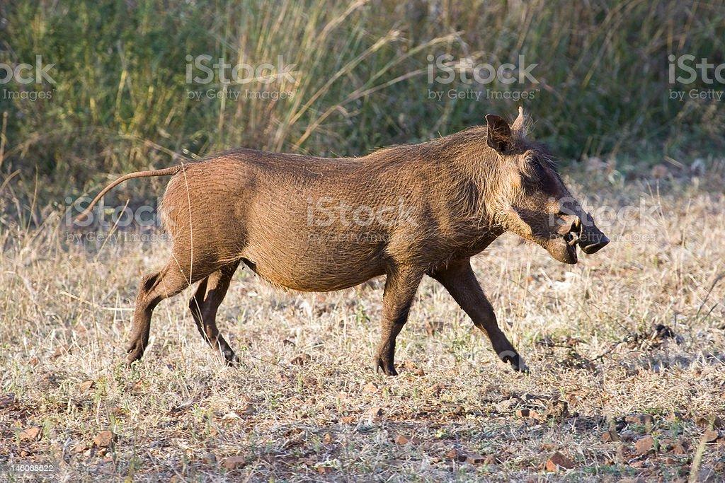 Warthog at a walk royalty-free stock photo