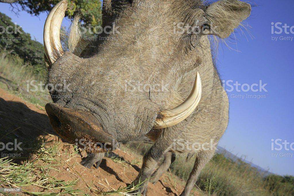Warthog Close Up royalty-free stock photo