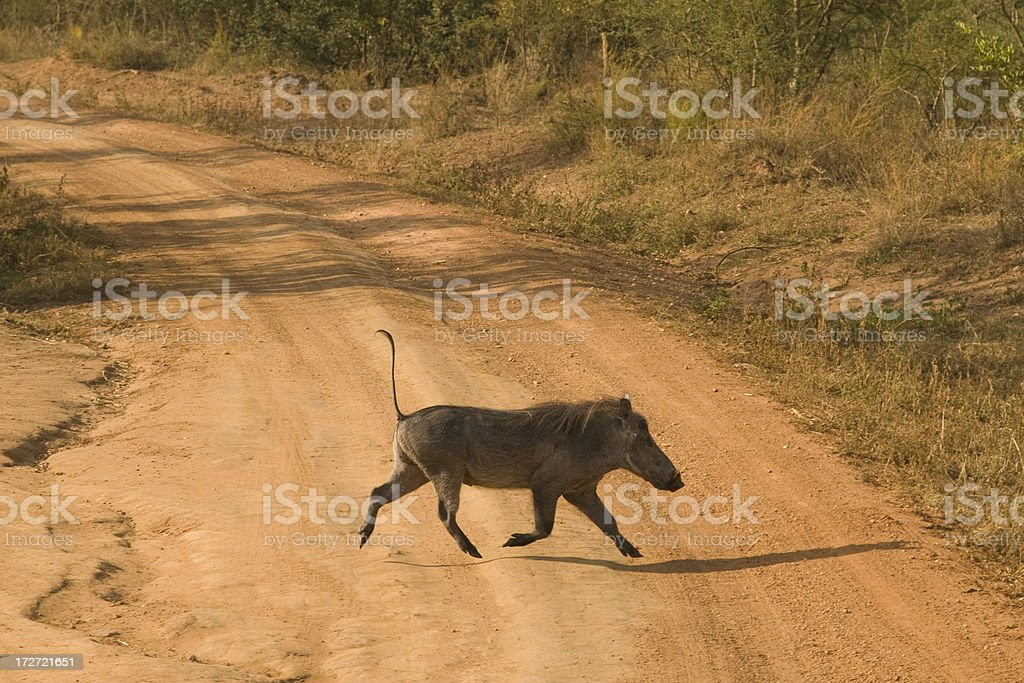 Warthog in Africa stock photo