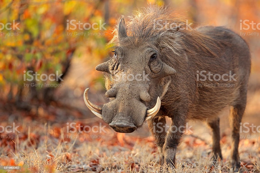 Warthog in natural habitat stock photo