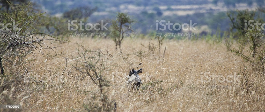 Warthog in the Grass stock photo