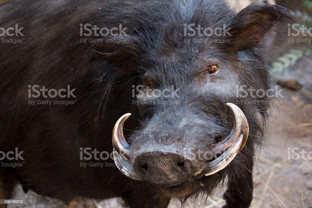 Warthog in the wild stock photo