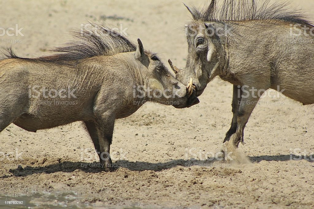Warthog Knock-out Tusked Punch from Africa royalty-free stock photo