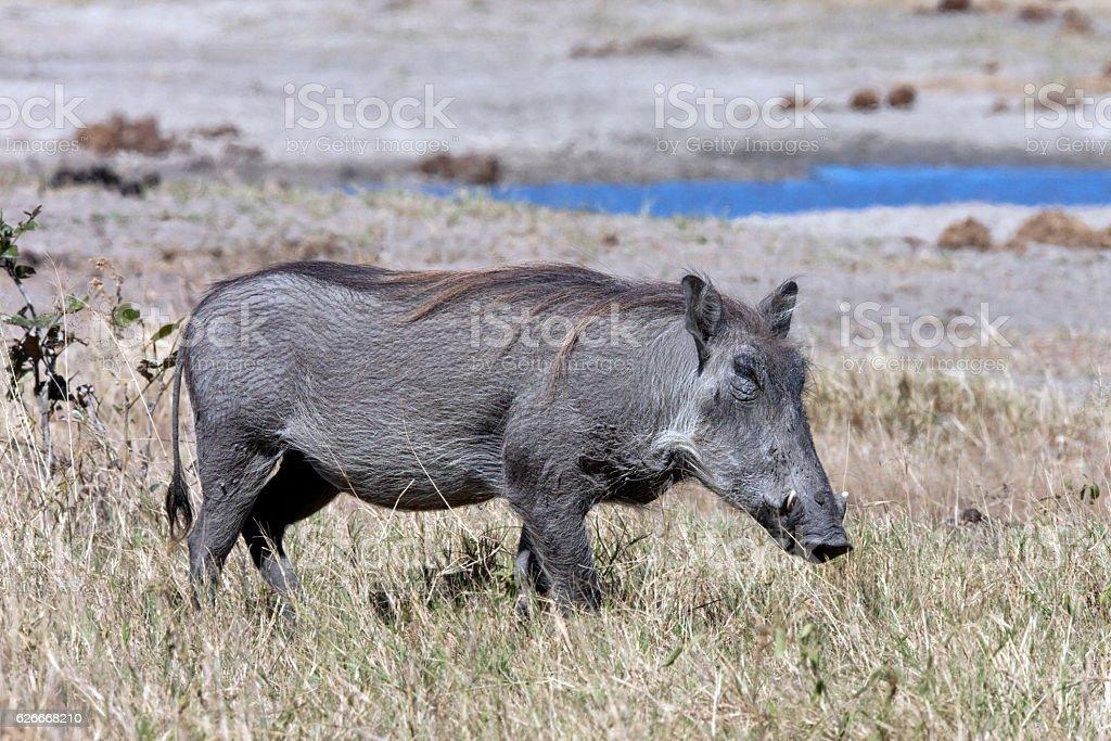 Warthog - Phacochoerus africanus- Botswana stock photo
