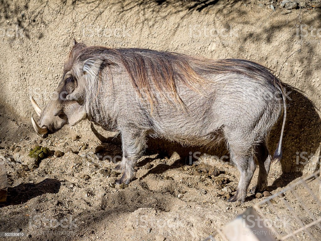 Warthog (Phacochoerus africanus) stock photo