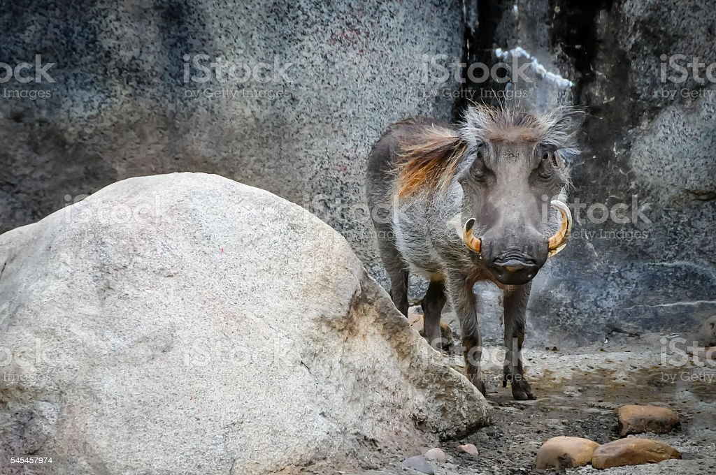 Warthog stock photo