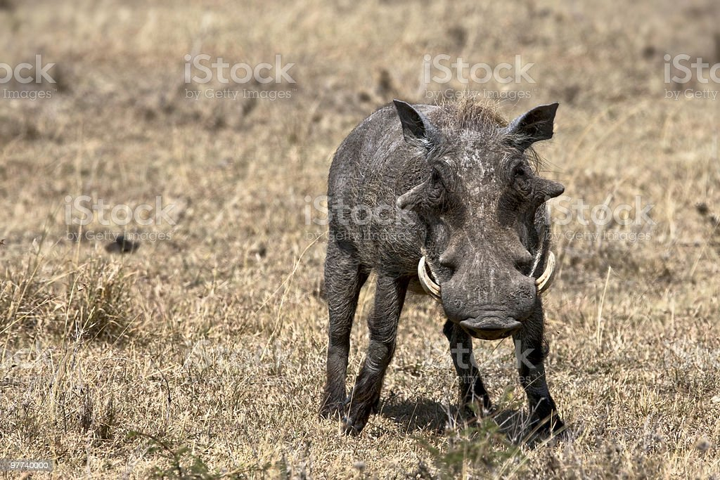 Warthog royalty-free stock photo