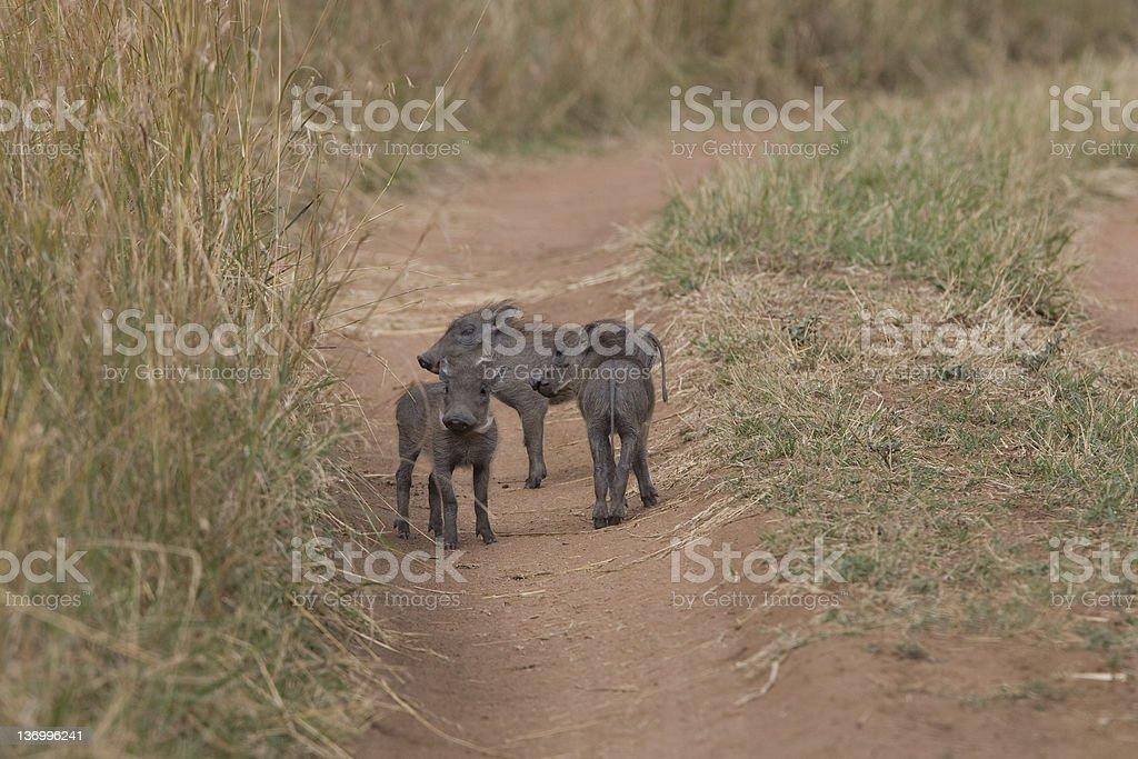 Phacochère porcelets sur une piste de terre du Masaï Mara photo libre de droits