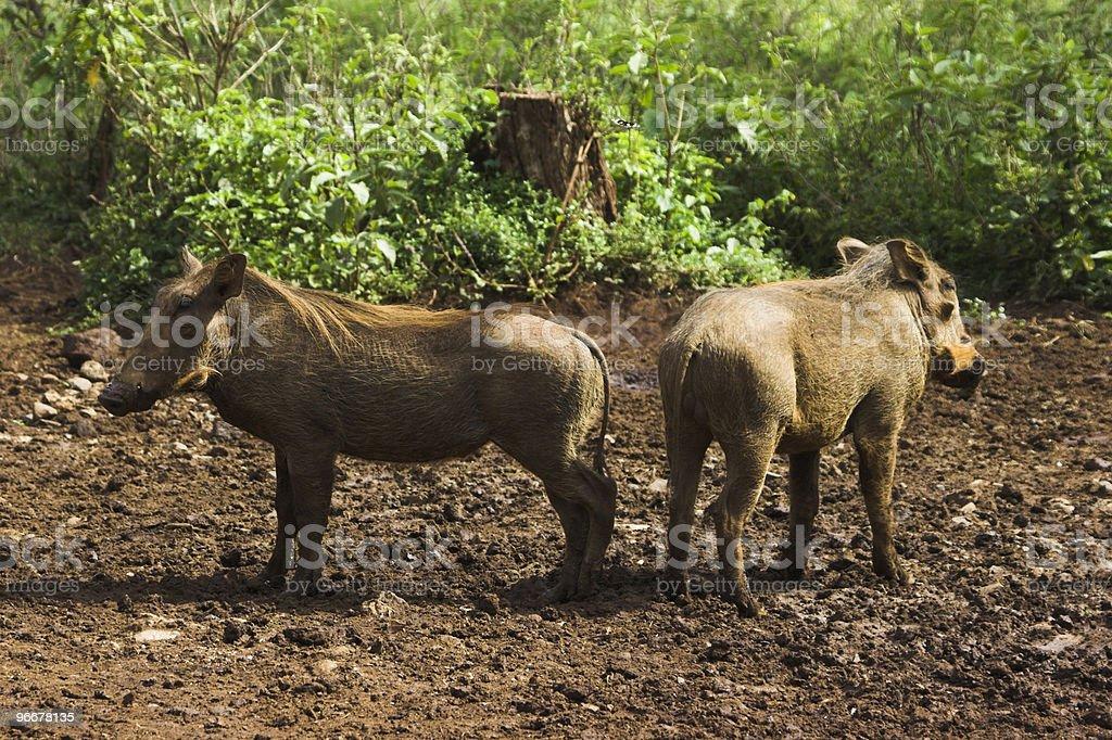 Warthog smiling royalty-free stock photo