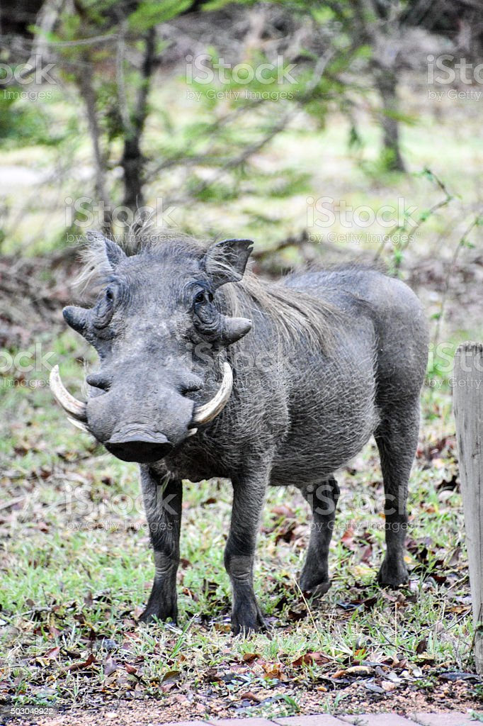 Warthog stare down stock photo