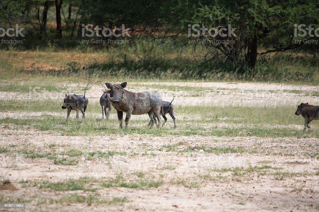 Warthogs at Bwabwata National Park, Namibia Africa stock photo