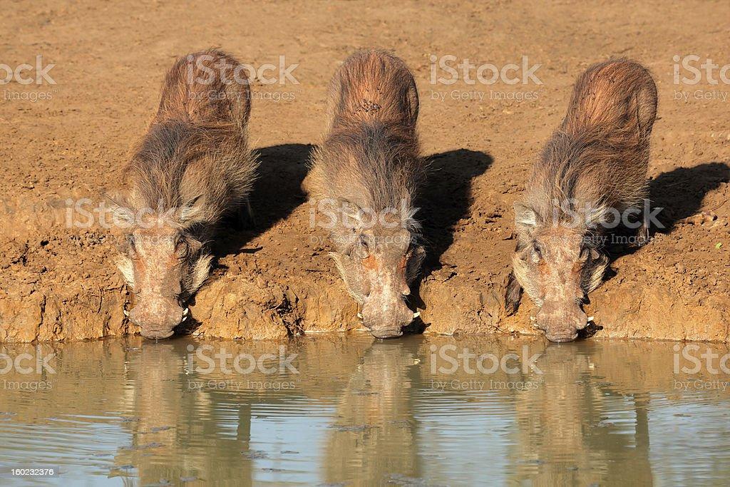 Warthogs drinking royalty-free stock photo