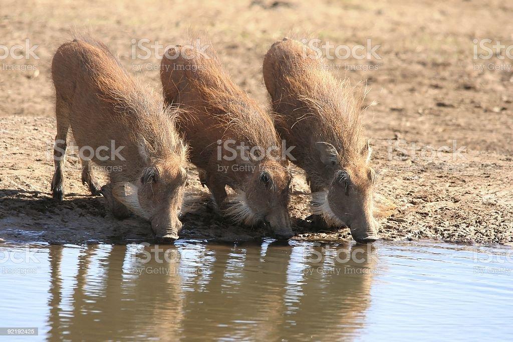 Warthogs Drinking Water stock photo