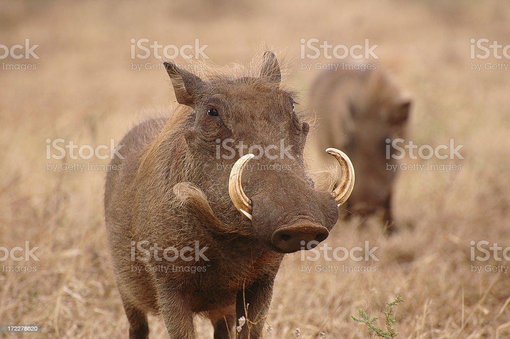 Warthogs II royalty-free stock photo