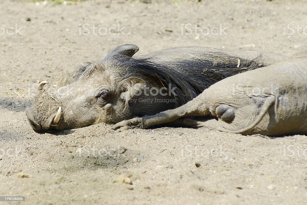 Warthogs Resting royalty-free stock photo