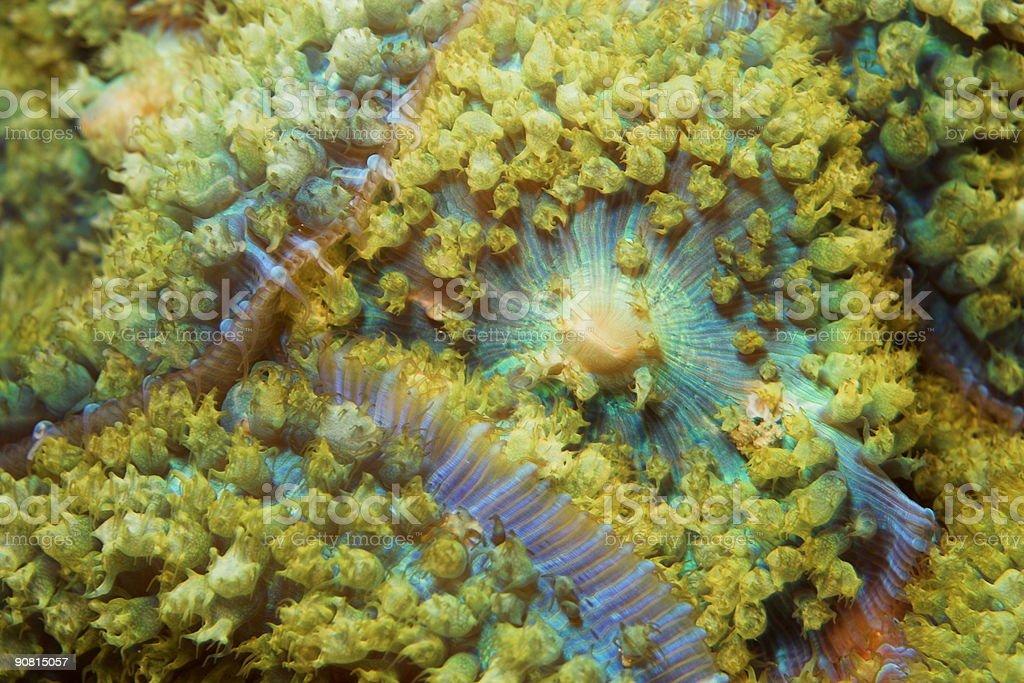 Warty Corallimorph stock photo