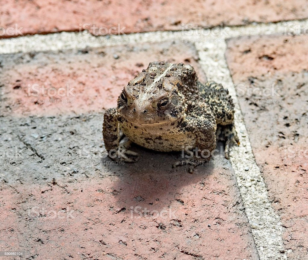 Warty Eastern American Toad on Brick stock photo
