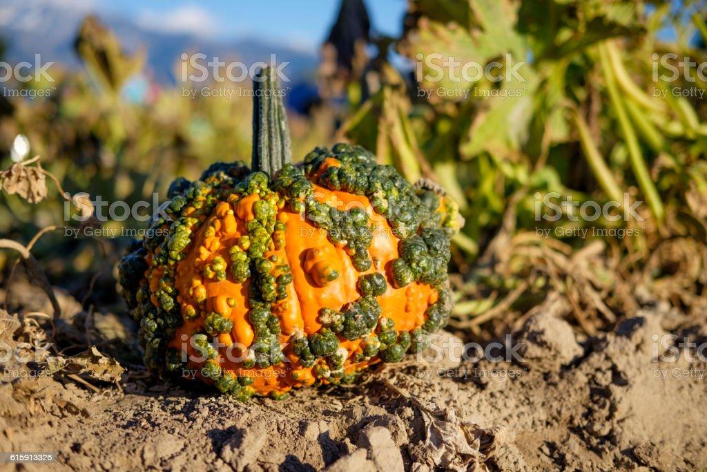 Warty Goblin Pumpkin stock photo