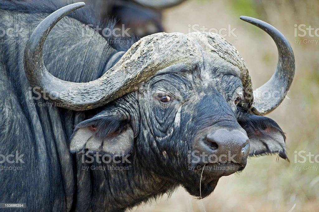 Wary Buffalo stock photo