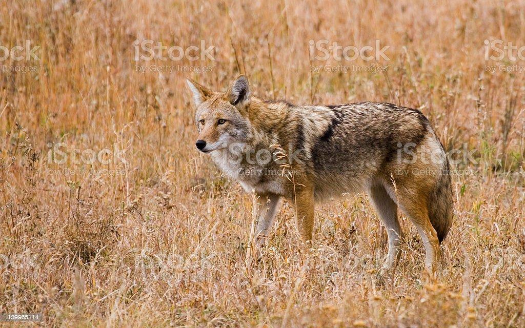 Wary Coyote stock photo