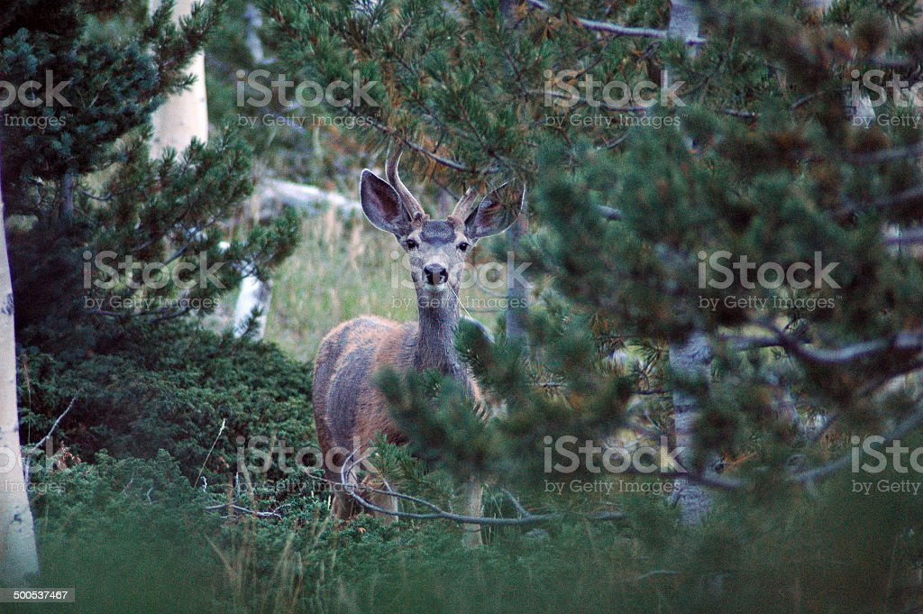 Wary Deer 1 stock photo