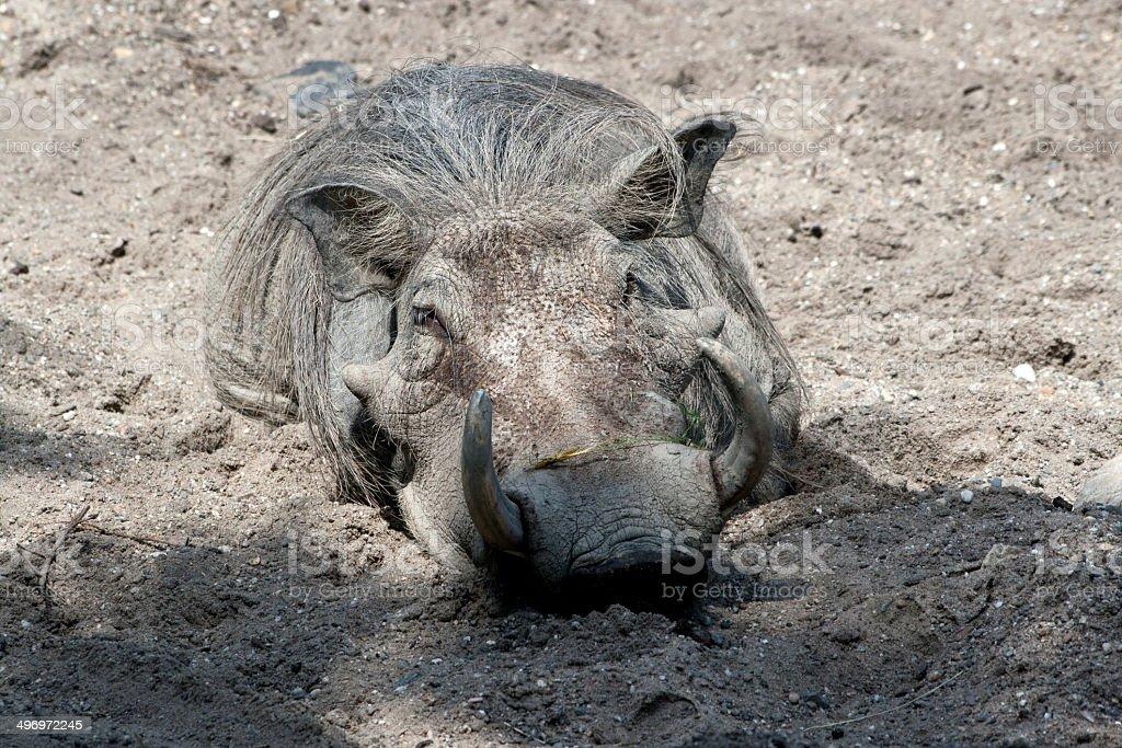 Warzenschwein im Sand stock photo