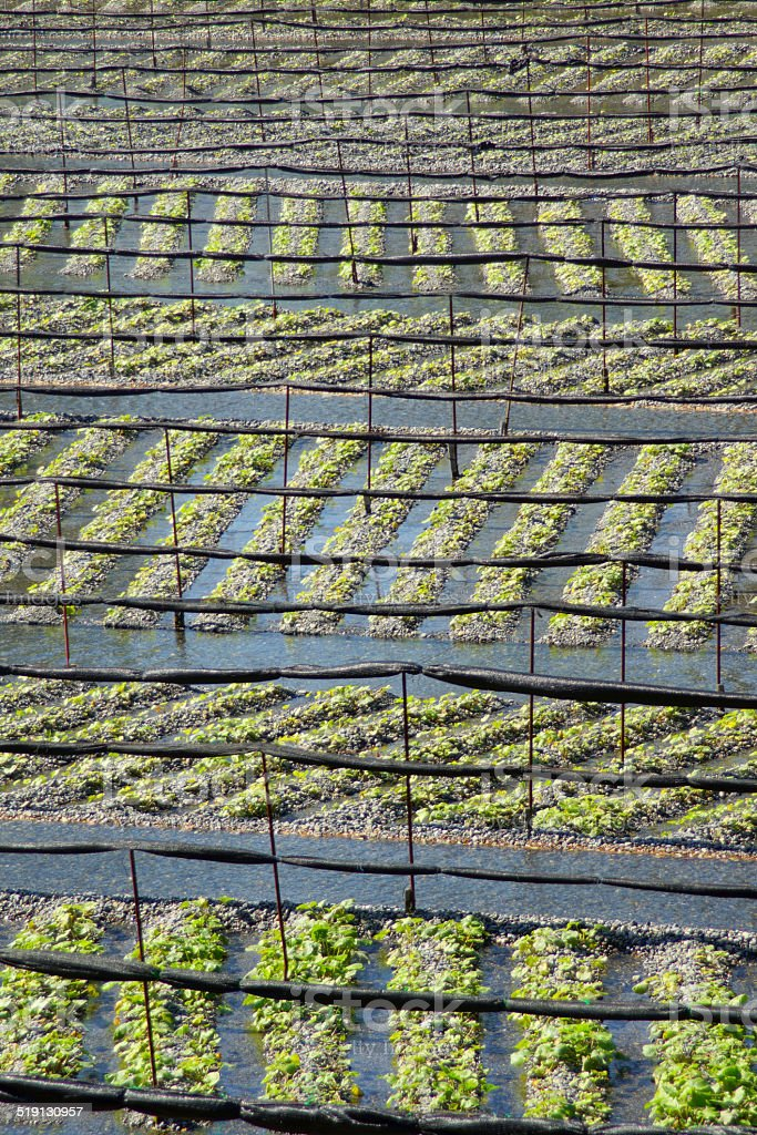 Wasabi plantation stock photo