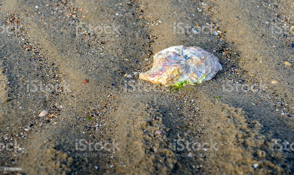 Washed ashore oyster shell in the sand stock photo