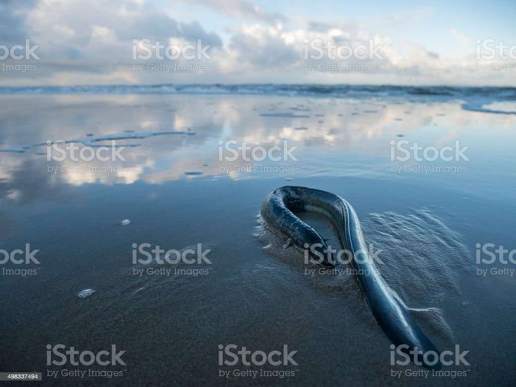 Washed up Eel on the beach stock photo