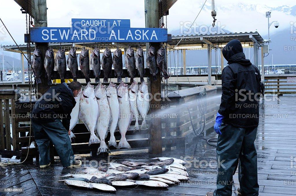 Washing Fish at Seward of Alaska stock photo