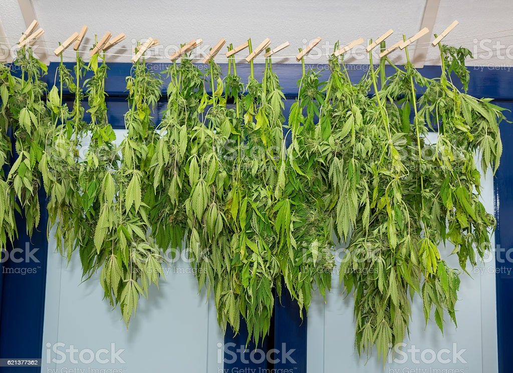 Washing line with drying hemp plants stock photo