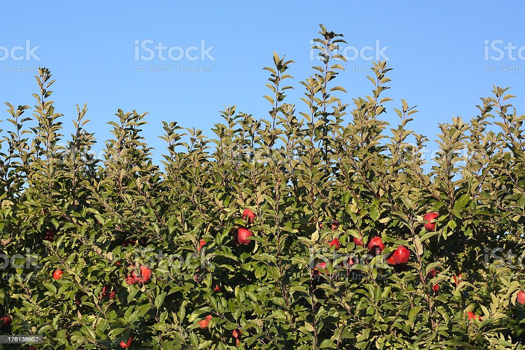 Washington Apple Trees stock photo