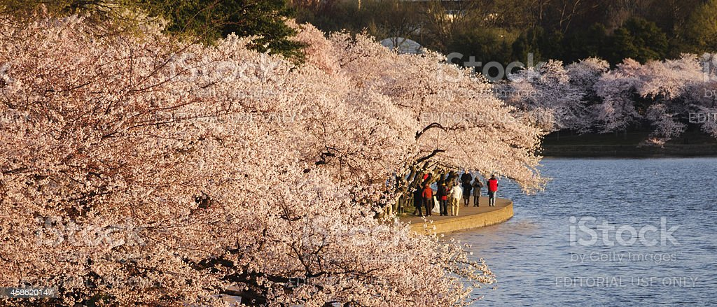 Washington DC cherry blossoms and monument royalty-free stock photo