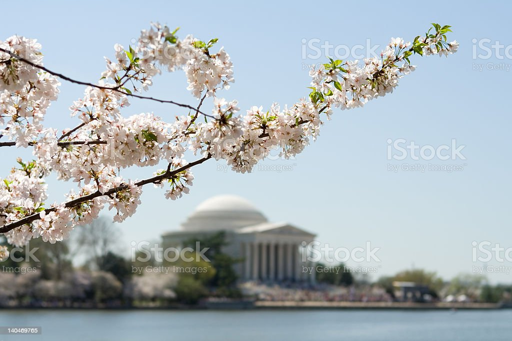 Washington DC Japanese Cherry Blossoms Jefferson Memorial in Background royalty-free stock photo